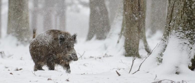 Jagdzentrum Oberfranken - Wildschwein