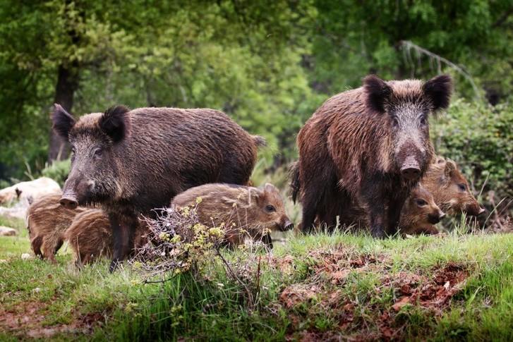 Jagdzentrum Oberfranken - Wildschweine mit Frischlingen